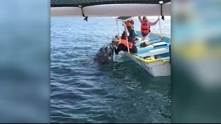 wild-whale-and-american-tourist-kiss-in-magdalena-bay