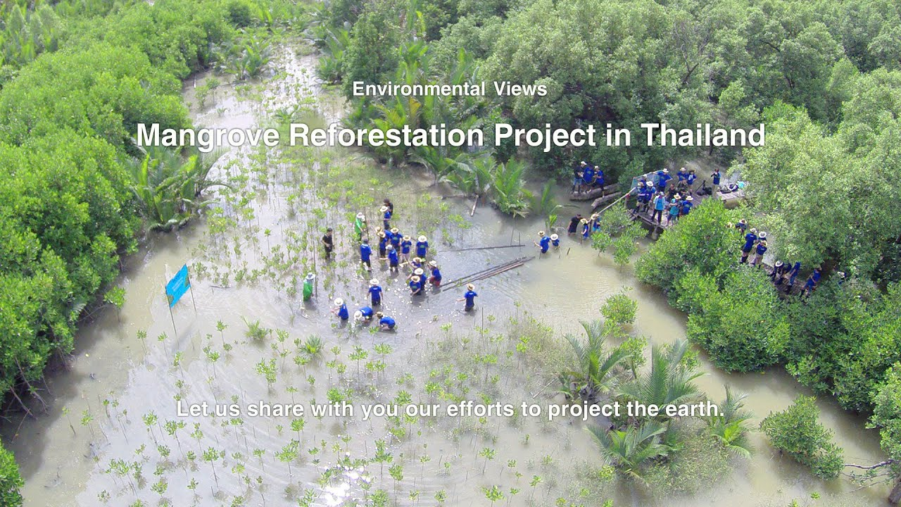 Mangrove Reforestation Project in Thailand - YouTube