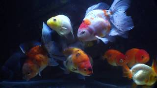 East Coast Ranchu Goldfish Live Stream Channel 05.25.17 thumbnail