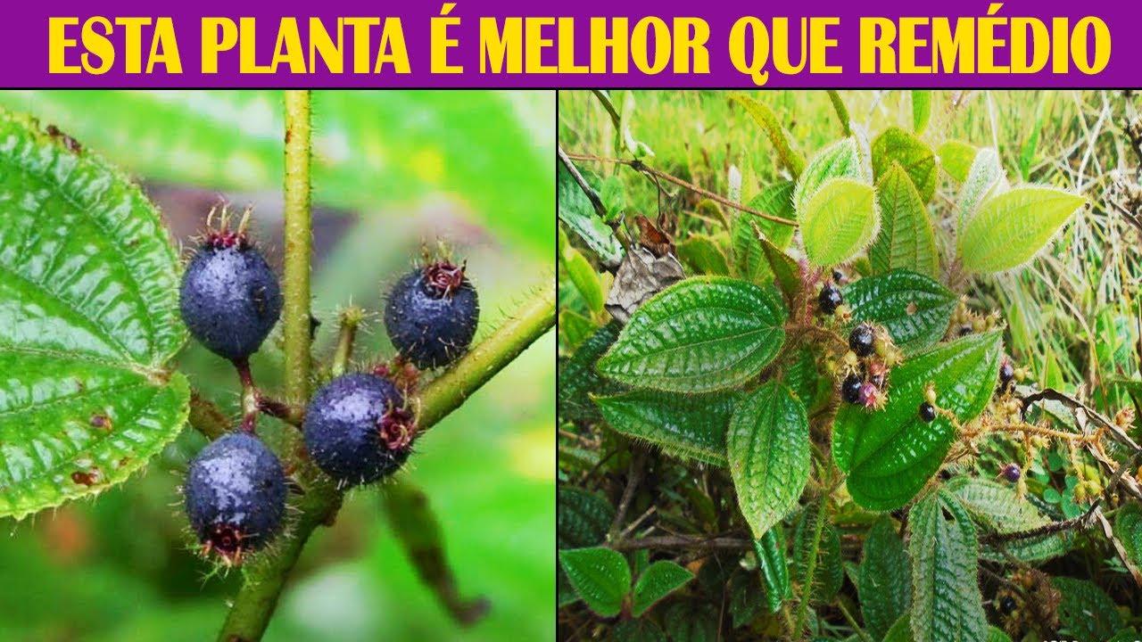 Download Esta PLANTA Destrói DOENÇAS (Diabetes, Infecção Urinária, Cicatrizante, Calmante, Antioxidante)
