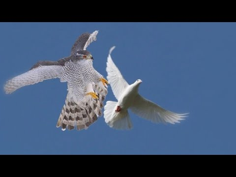 Сокол Сапсан и Ястреб Тетеревятник (эпизоды) Pelegrin Falcon And Goshawk (ipizody)