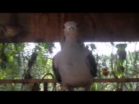Burung pergam jinak