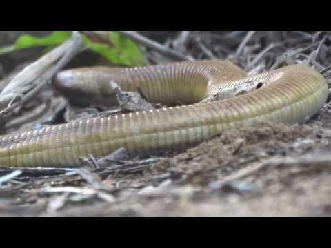 Cobra de Duas Cabeças ( Amphisbaenia) se alimentando