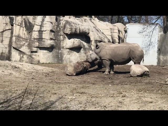 Virtual Vitamin Z   Explore the Rhino Habitat at the Detroit Zoo