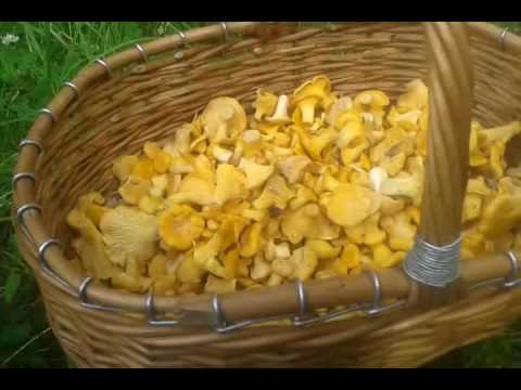 Собираем грибы.Лисички без регистрации и смс