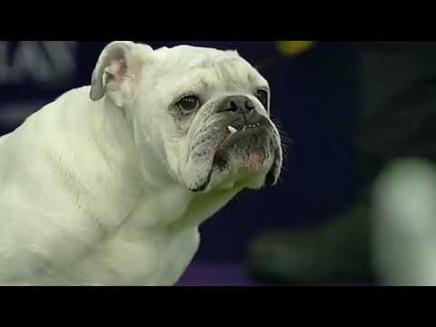 Chubby Bulldog Steals Hearts at Dog Show, Sends Internet Wild After Impressive Agility Performance