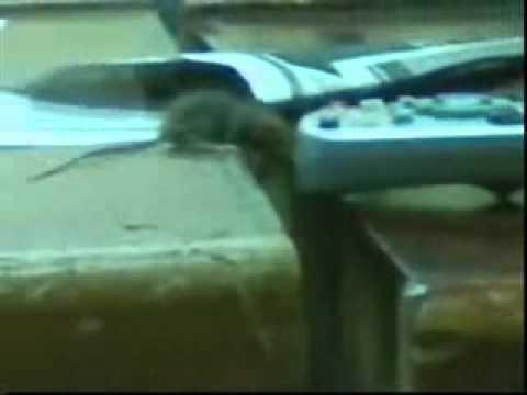 I como atrapar a un raton nachonal youtube - Como atrapar ratones ...