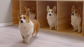 There are welsh corgis who won the 8 bedroom😲 house?!