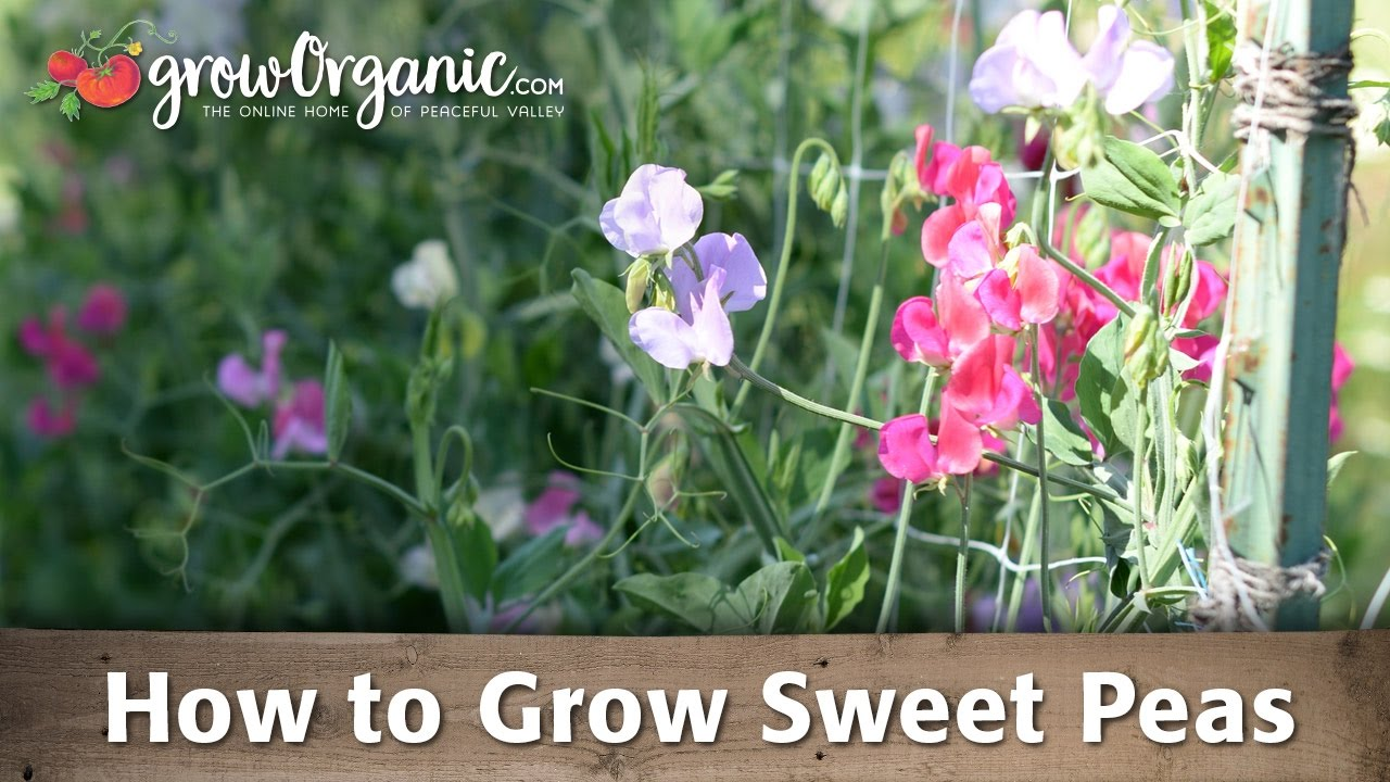 How To Grow Sweet Peas Youtube