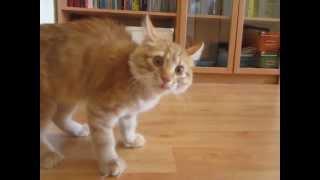 """Рыжий кот Бозон - Ходит """"горбиком"""" и отбивает чечетку"""
