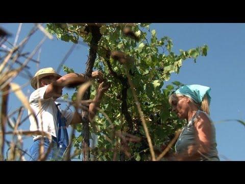 Jobless Italians return to vineyards for harvest