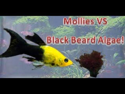 Mollies eating Black Beard Algae in an aquarium