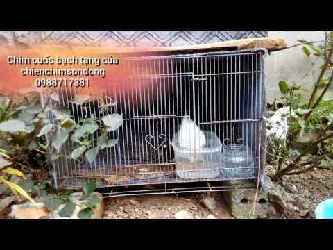 Chim cuốc bạch tạng (Bird gene mutations)
