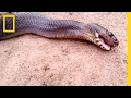 """Watch: Snake """"Plays Dead"""" When Threatened 