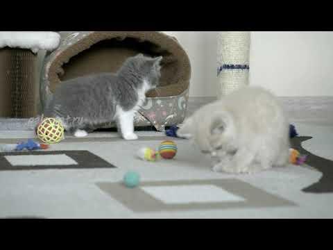 Британские котята в возрасте 6 недель (Litter- S2)