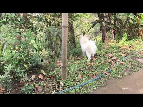 Two little Japanese Spitz at home
