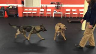 Aggressive Pit Bull Rehab Solid K9 Training