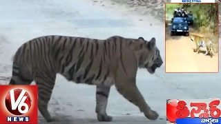 Tiger Wanders On Road Halts Traffic In Jannaram Forest | Adilabad | Teenmaar News