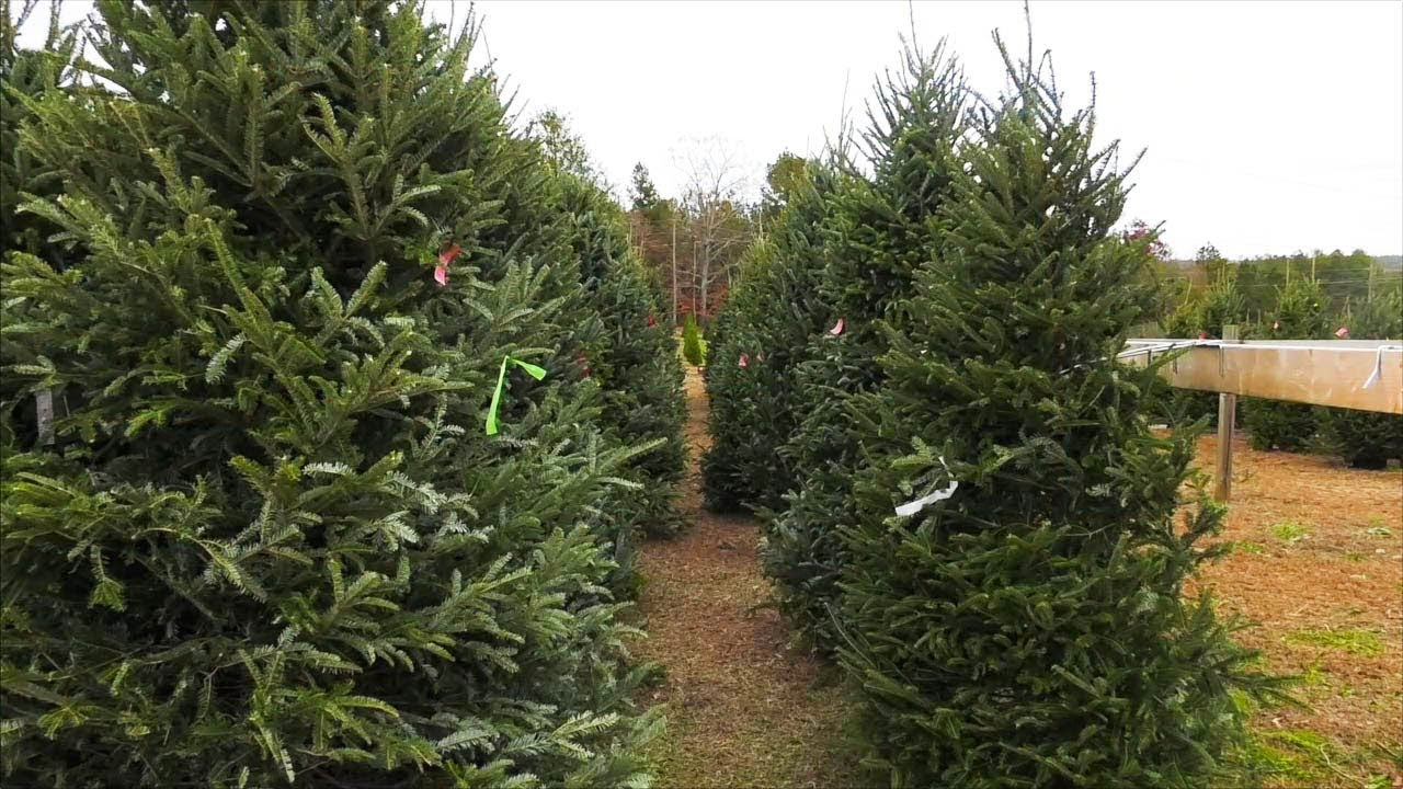 Georgia Christmas Tree Farm Helps Create Holiday Spirit