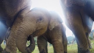 Close-Up Footage of Baby Elephant with Family | Elephant Nature Park