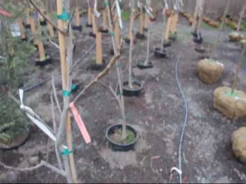 Garden trees    We Have fruit trees and Fig Trees  for Sale