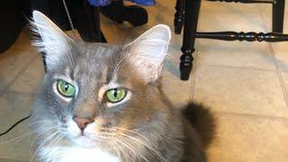 💥Стрижка кота под льва💥#америка#стрижкаподльва#котыки#калифорния