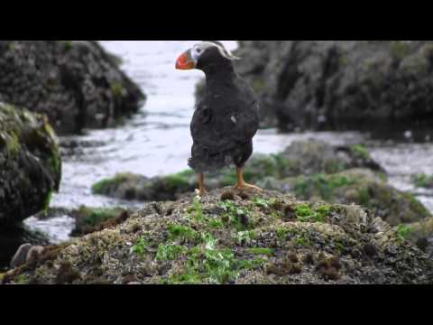 Tufted Puffin Release at Cannon Beach, Oregon.