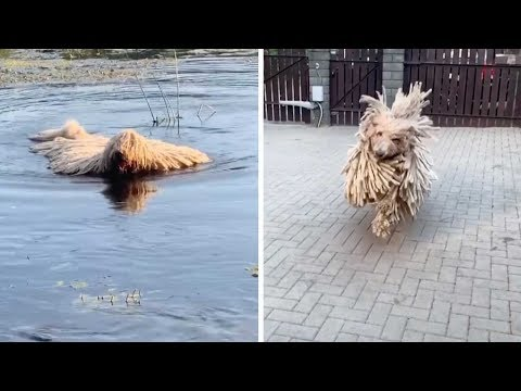 Unusual Dog Looks Like Mop
