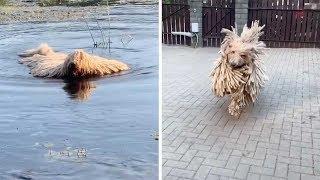 Unusual Dog Looks Like Mop