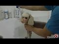 Poodle yıkama
