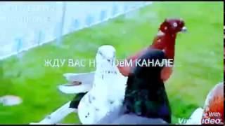 СМОТРЕТЬ ГОЛУБЕЙ. ПТИЦЫ ВИДЕО.  Бойные голуби на балконе.(СМОТРЕТЬ ГОЛУБЕЙ. ГОЛУБИ НА БАЛКОНЕ И ИХ ЖИЗНЬ., 2016-08-16T19:26:17.000Z)