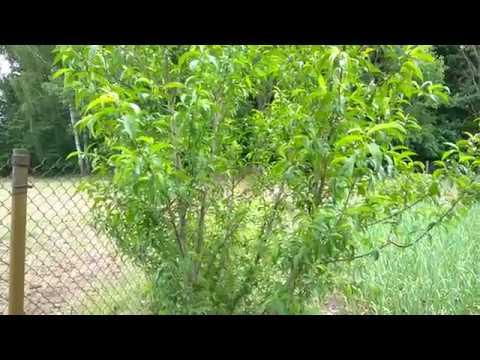Почему нельзя садить персики, абрикосы и др. теплолюбивые виды на северной стороне сада? Практика.