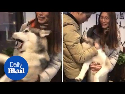 Moment husky 'cries' into owner's arms after rejection by female dog - Daily Mail