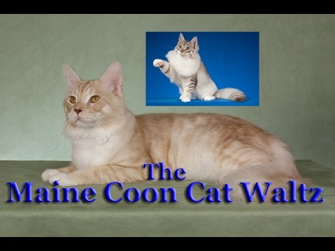 The Maine Coon Cat Waltz