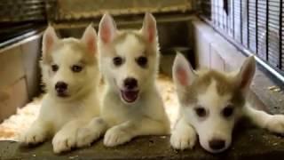 関西シベリアンハスキー子犬販売 https://www.at-breeder.net/siberian_...