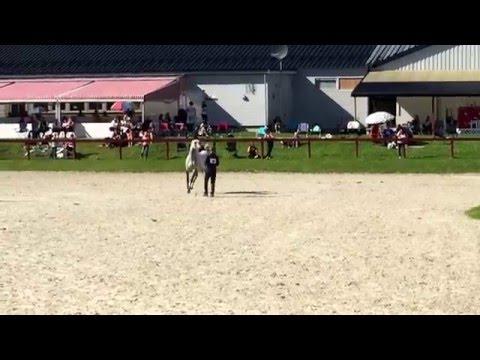 Zephyr at Arab Horse Show 2015 Linnesvollen