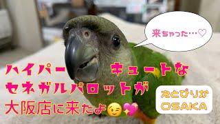 【えとぴりかOSAKA】ヒナヒナセネガルが来たよ!【セネガルパロット・ネズミガシラハネナガインコ】