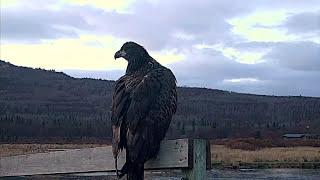 Белоголовый орлан в низовьях реки Брукс парк Катмай Аляска Bird Bald Eagle at river Brooks