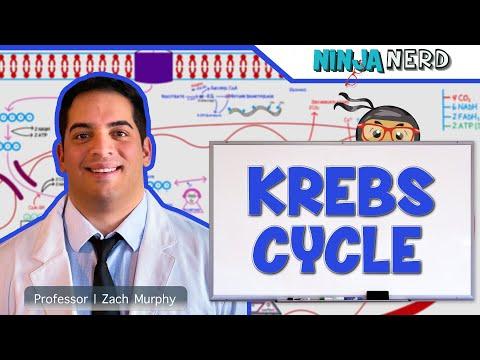 Metabolism | The Krebs Cycle