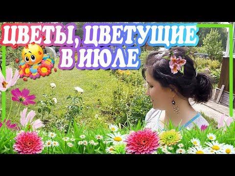 красиво цветущие однолетние цветы