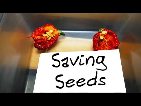 How to save Chilli Pepper Seeds