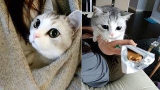 This Cute Munchkin Kitten Will Make Your Heart Happy | cute munchkin kitten