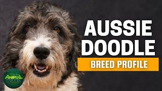 "Aussiedoodle Dogs 101   The ""Einstein"" of Cross Breeds"