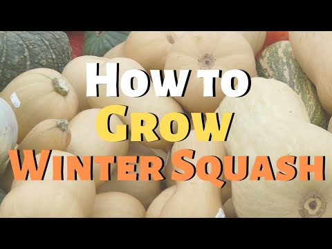 how-to-grow-winter-squash