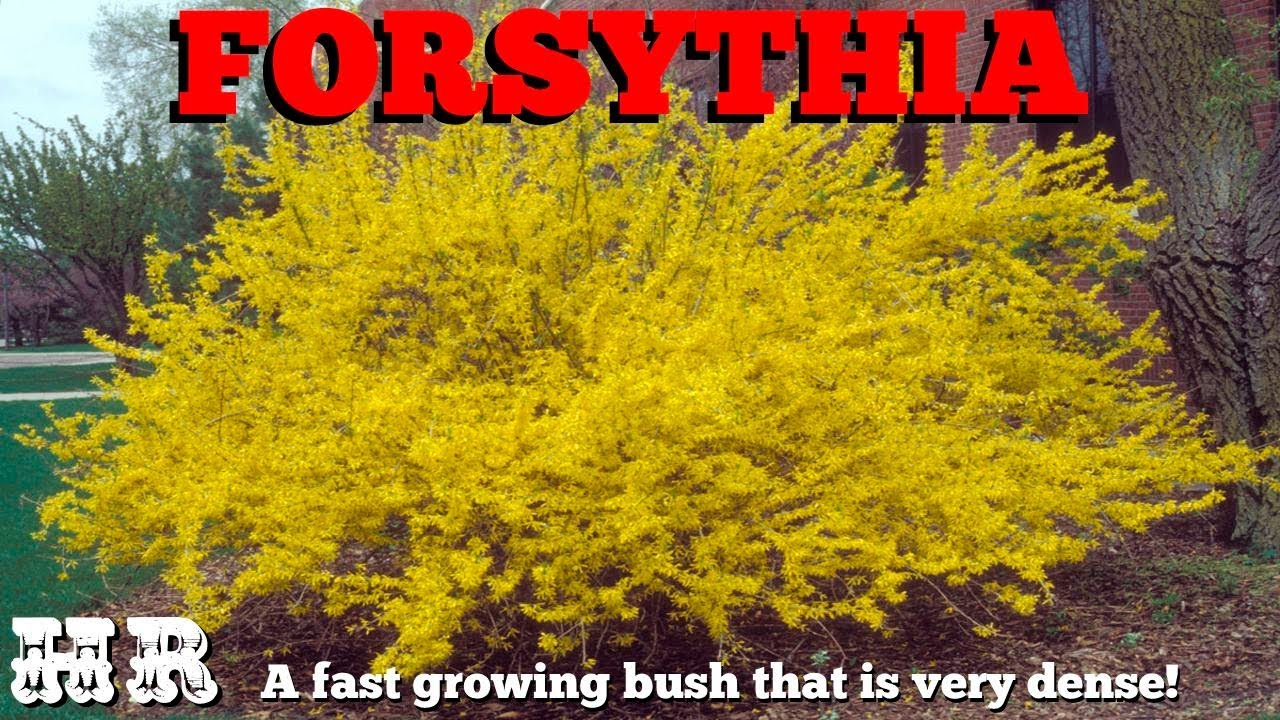 Forsythia Oleaceae Beautiful But Very Invasive Grow With Care