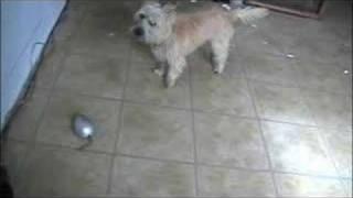 Kinsey Cairn Terrier