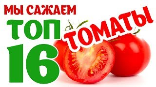 ТОП 16 сортов томатов у нас на огороде. Новинки сезона. Помидор Грифон, черри