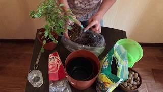 Фикус Бенджамина Кинки /Пересадка / Комнатные растения