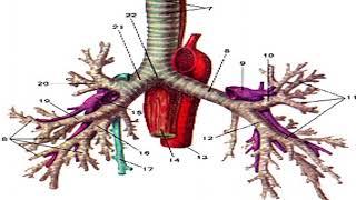 презентация дыхательная система (ЗБМК)