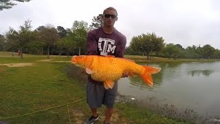 giant koi caught on a fly rod